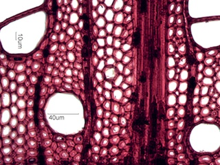 Acer saccharum, Cross-Section