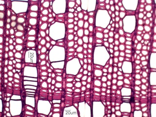 Alnus rubra, Cross-Section