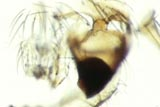 Carpet Beetle Mandible