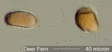Deer Fern Spores Under the Microscope