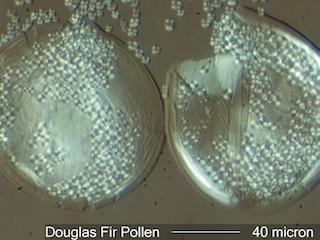 Douglas Fir (Pseudotsuga menziesii) Pollen under the Microscope