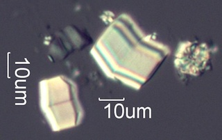 Calcium Oxalate Phytolith