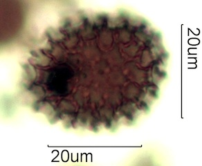 Phlox Pollen from Australian Honey