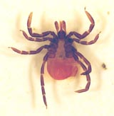 california Black Eyed Tick